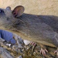 Patkányok ették meg a diákok vizsga eredményeit