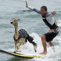 Szörföző alpaka