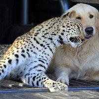 A leopárd, és az arany retriever legjobb barátok