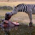 Zebra tisztogatta a víziló fogait