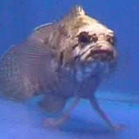 Sétáló halakat fedeztek fel Tasmánia partjainál