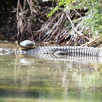 Az alligátor és a teknős barátsága