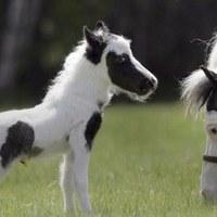 Einstein a világ legkisebb lova