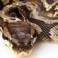Kígyóval vágta fejbe a motel egyik vendégjét