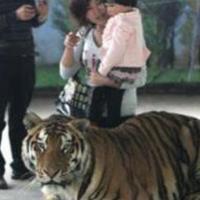 Egy kínai állatkertben lovagolni lehet a tigriseken