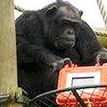 Filmező csimpánzok