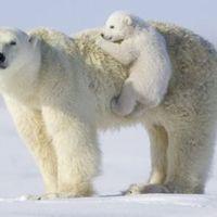 A jegesmedvék új hobbija