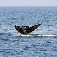 Szürke bálnát láttak Izrael partjainál