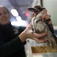 Diétára fogták a kookaburra madarat