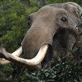 Elpusztult Tito elefántja