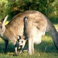 Törpe kenguruk alapítottak kolóniát Nagy-Britanniában
