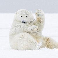 A játékos jegesmedve élvezi a havat