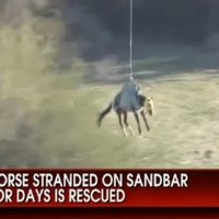 Helikopterrel mentették ki a homokpadon rekedt lovat