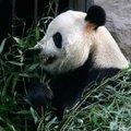 Kínai tanárt keresnek az amerikai panda számára