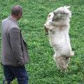 Táncoló kecske