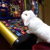 Daisy, a nyúl játékgépen próbál szerencsét