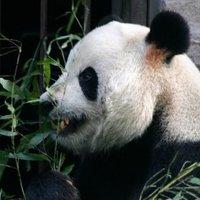 Az éhes óriás panda betört egy sertésfarmra