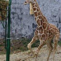Zsiráffal bővült a jagodinai állatkert