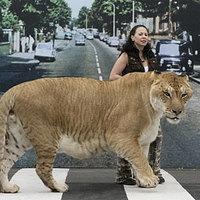 Hercules a világ legnagyobb hibrid nagymacskája