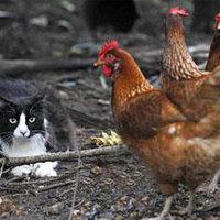 Bustopher, a macska tyúknak képzeli magát
