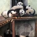 Óriás pandák a sanghaji állatkertben (képek)