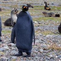 Fekete színű királypingvint fedeztek fel Dél-Georgia szigetén