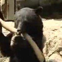 Kung Fu medve
