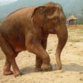 Albínó elefántot fogtak Mianmarban