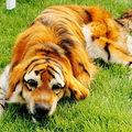 Új őrület Kínában: Tigris kutya és chow chow panda