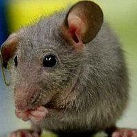 Egerek tanyáztak a londoni rendőrök asztalain