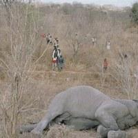 Elpusztult elefántot rohamoztak meg Zimbabwében az éhezők