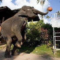 Kosarazó elefántok