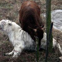 A bika győzedelmeskedett a tigris ellen vívott harcban