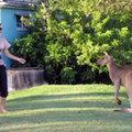 Kanos kenguru rémisztgeti a nőket Ausztráliában