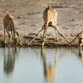 A zsiráfok is tudnának úszni