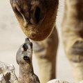 A szurikáta puszit adott a zsiráfnak
