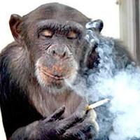 Csimpánz az alkohol és a cigaretta rabságában