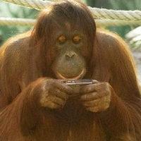 Fényképeket készít Nonja, az orángután
