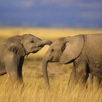 Az elefántok