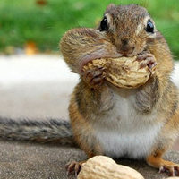 A telhetetlen mókus teli szájjal habzsol