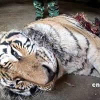11 tigris halt éhen egy kínai állatkertben