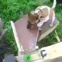 A mérnök kutyája jól elvan.
