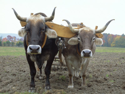yoked-oxen.jpg