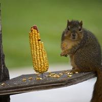 Ártalmas-e a kukorica glutén?