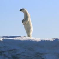 A sarkkutatók titokzatos betegsége – avagy a halott jegesmedve visszavág