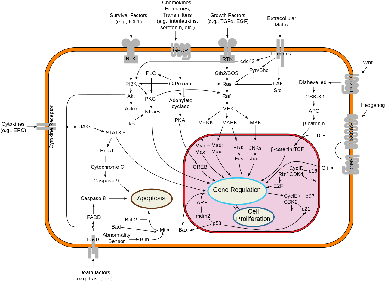 1280px-signal_transduction_pathways_svg.png