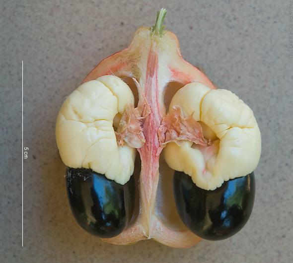 2013_11-411-169_akee_fruit_part_seed_aril_i-s_bobo-dioulasso_bf_thu14nov2013-0953h.jpg