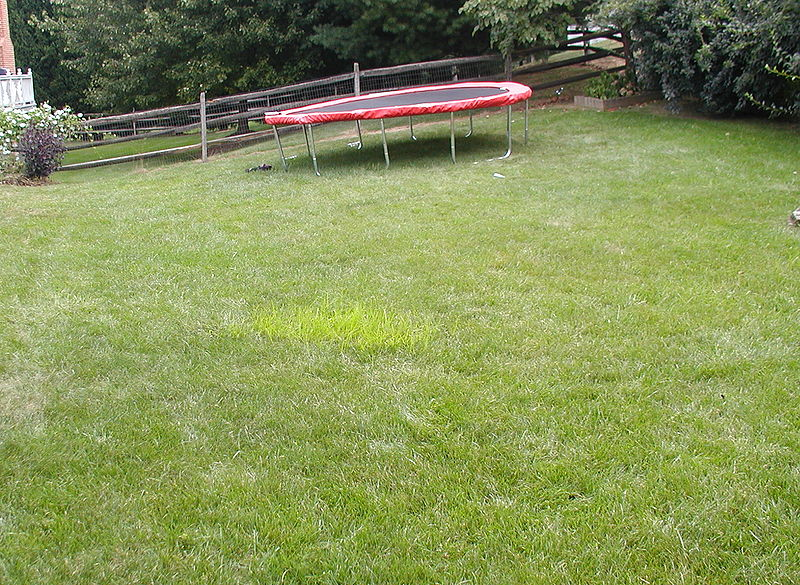 800px-cyperus_esculentis_in_a_lawn.jpg