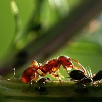 Bizarr ételek: mézharmat