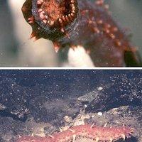 Undorító kisállatkák: tengeriuborka